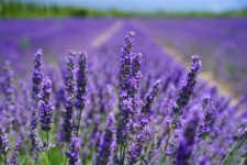 Endless fields of lavender