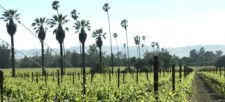 Statuesque palms dotting the vineyard landscape